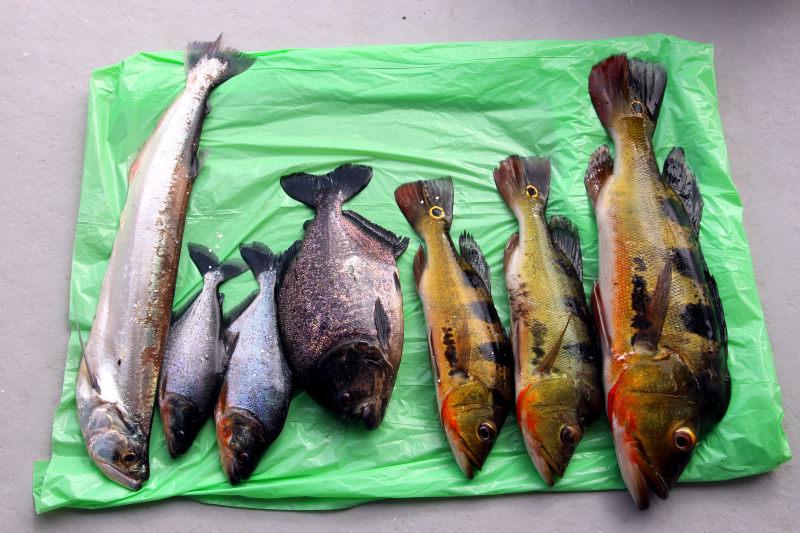 Säbelzahnsalmler (Rhaphiodon vulpinus), 2x Serrasalmus cf. elongatus, Schwarzer Piranha (Serrasalmus rhombeus), 3x Augenfleckenkammbarsch (Cichla monoculus)