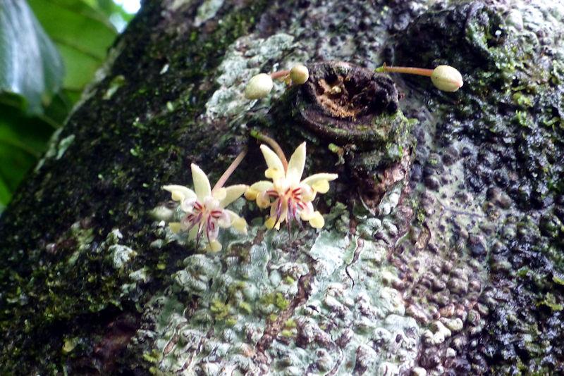 Kakao-Blüte