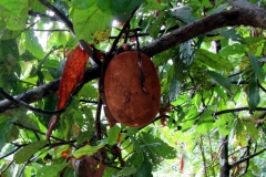 Großblütiger Kakao / Cupuaçu (Theobroma grandiflorum)