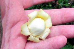 Blüte der Paranuss