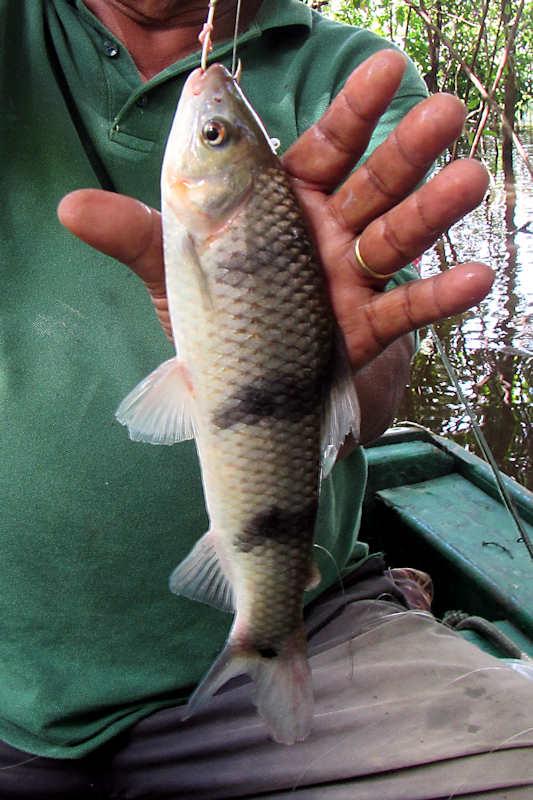 Leporinus trifasciatus