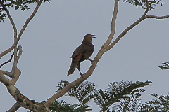 Breithauben-Stirnvogel (Psarocolius angustifrons)