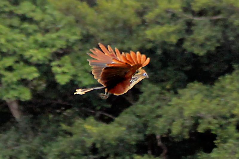 Hoatzin (Opisthocomus hoazin)