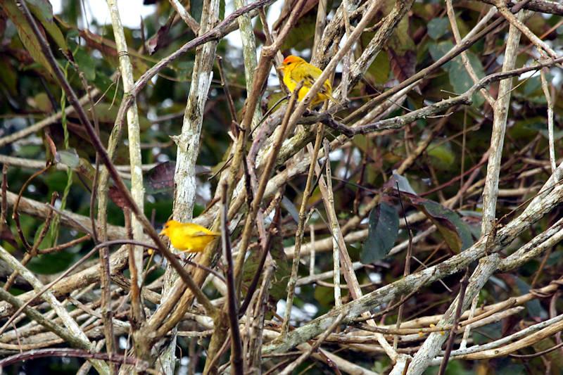 Safranammern (Sicalis flaveola)