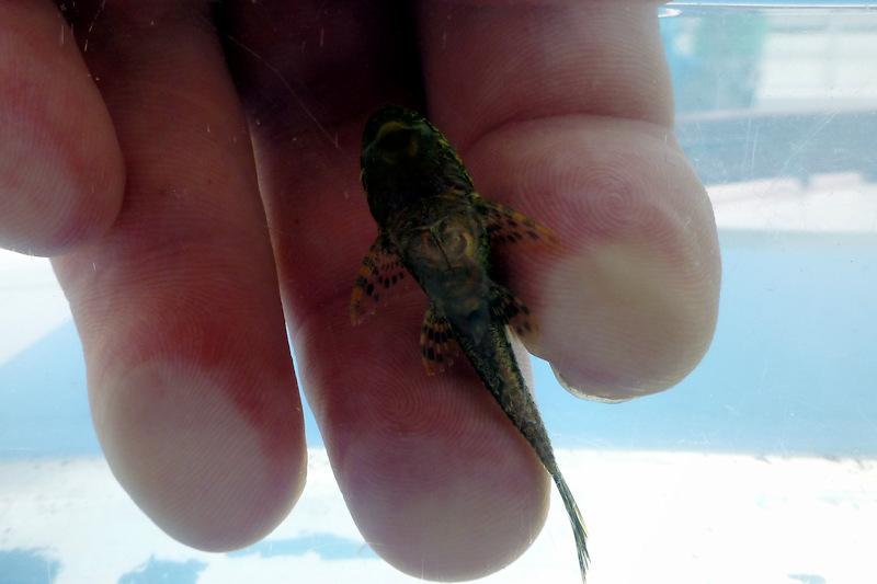 Segelschilderwels (Liposarcus pardalis)