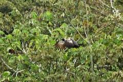 Hornwehrvogel (Anhima cornuta)