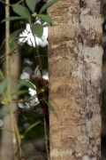 Geradschnabel-Baumsteiger (Xiphorhynchus picus)