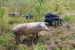 Hausschweine der Caboclos