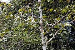 Knoblauchbirne (Crateva)
