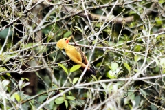 Strohspecht (Celeus flavus)