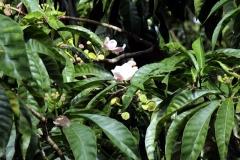 Gustavia sp.