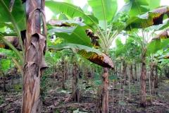 Bananenplantage auf Terra Preta