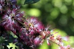 Puderquastenstrauch (Calliandra haematocephala)