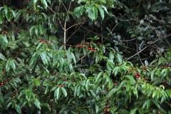 Sägeblättrige Nagelbeere (Ochna serrulata) Affenschnuller