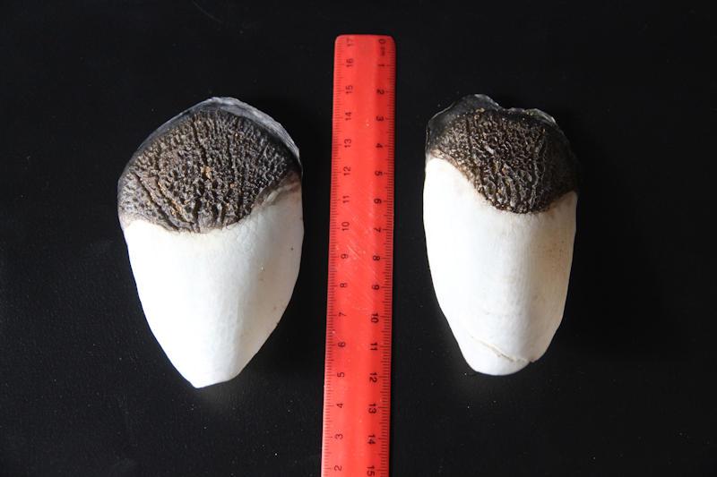 Schuppen eines Aripaima gigas