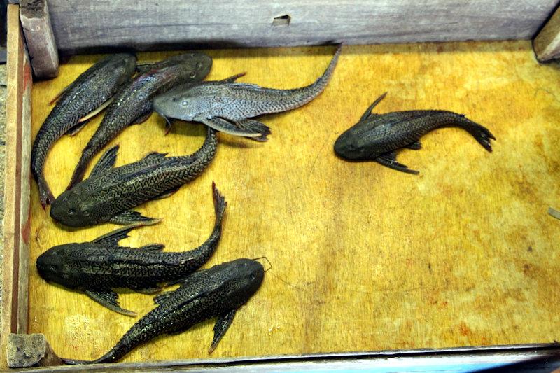 Segelschilderwels (Pterygoplichthys /Liposarcus pardalis)
