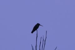 Kolibri am Morgen