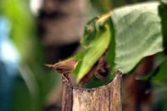 Südlicher Hauszaunkönig (Troglodytes musculus)