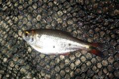 """Astyanax sp. """"Río Barraganetal"""""""