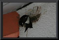 Schwalben beim Nestbau