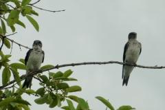 Braunbrustschwalbe (Progne tapera)?