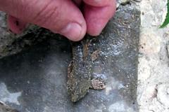 Rineloricaria sp.