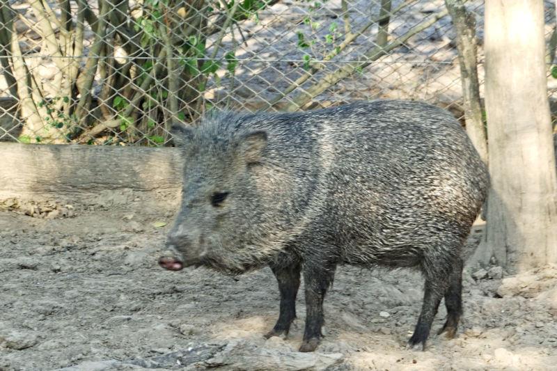 Pecarí del Chaco oder Catagonus wagneri