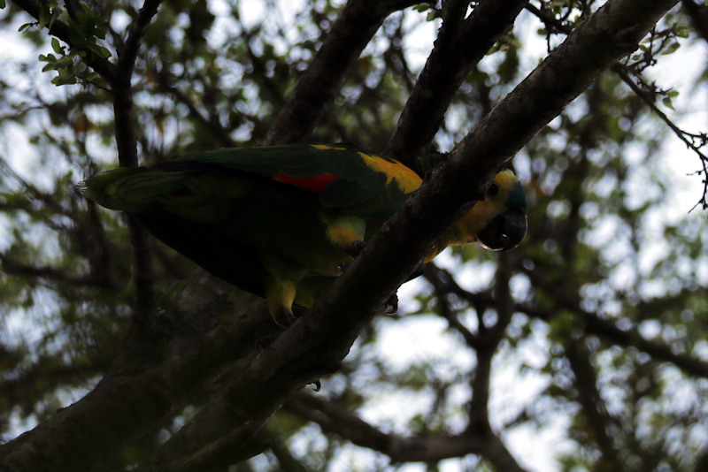 Blaustirn-Amazone (Amazona aestiva)
