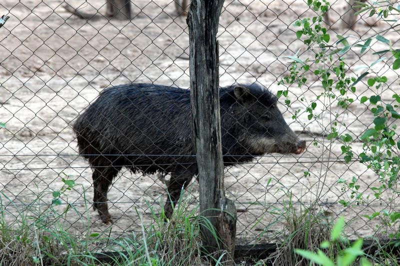 Wildschwein Arterhaltung  - Fortin Toledo