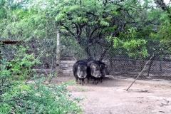 Wildschwein Arterhaltung:Catagonus wagneri - Fortin Toledo