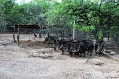 Wildschwein Arterhaltung - Fortin ToledoWildschwein Arterhaltung:Catagonus wagneri - Fortin Toledo