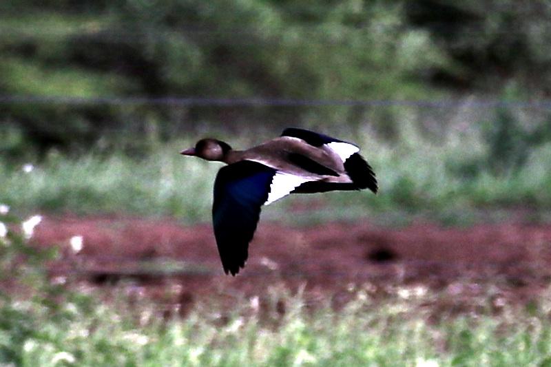 Amazonasente (Amazonetta brasiliensis)