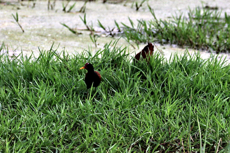 Rotstirn-Blatthühnchen (Jacana jacana)