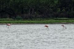 Chilenische Flamingos (Phoenicopterus chilensis)
