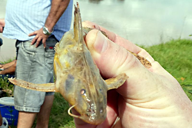 Rhinodoras dorbignyi