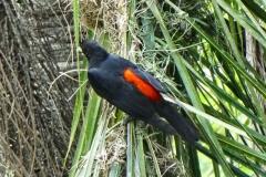 Rotrücken-Stirnvogel (Cacicus haemorrhous)