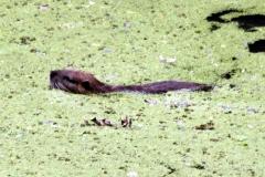 Nutria (Myocastor coypus)