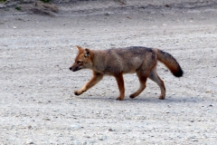 Patagonischer Kampfuchs/Chilla (Lycalopex griseus)