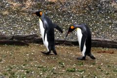 Königspinguin (Aptenodytes patagonica)