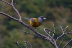 Magellanämmerling (Phrygilus patagonicus)