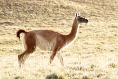 Guanako (Lama guanicoe)