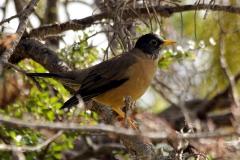 Magellan-Drossel (Turdus falcklandii)
