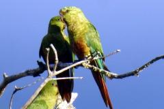 Smaragdsittich (Enicognathus ferrugineus)