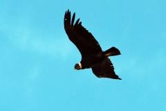 Kondor (Vultur grypus)