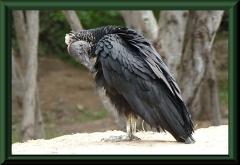 Rabengeier (Coragyps atratus)