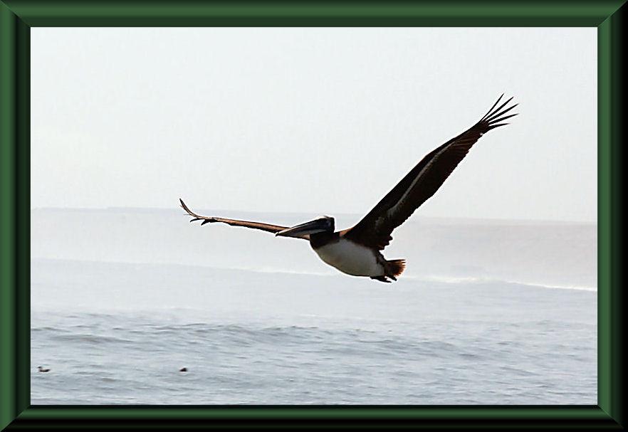 Huanchaco -  Brauner Pelikan (Pelecanus occidentalis)