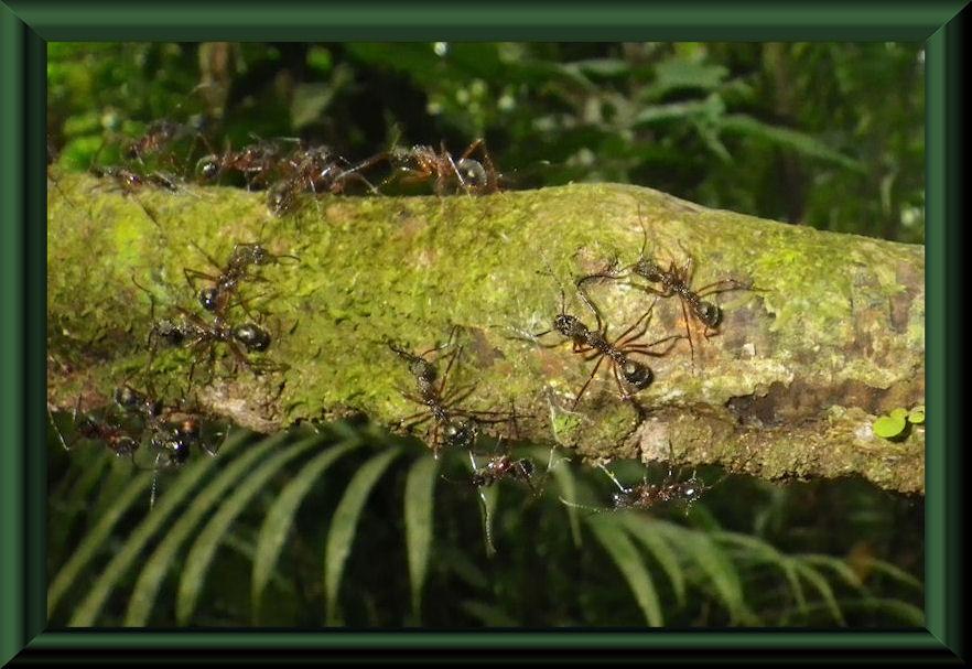 Ameisen, ca. 2 cm lang