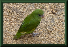 Kurzschwanz-Papagei (Graydidascalus brachyurus)