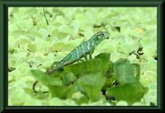 Buntleguan (Polychrus marmoratus)