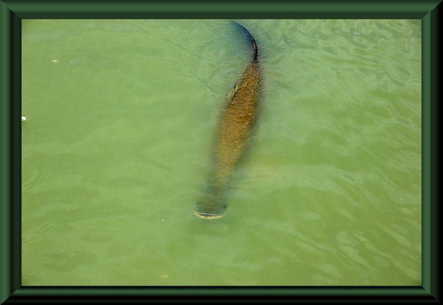 Paiche (Arapaima gigas), die größten Süßwasserfische Südamerikas